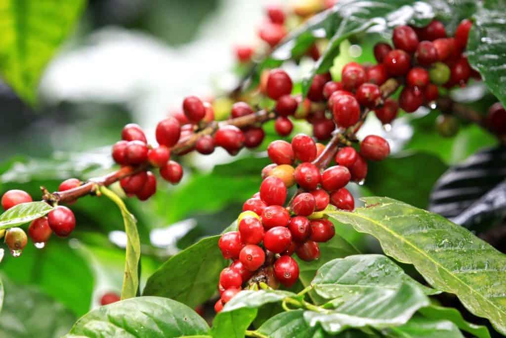 ต้นกาแฟ : เรื่องราวกาแฟ ความแตกต่างกันของโรบัสต้า และ อราบิก้า ...