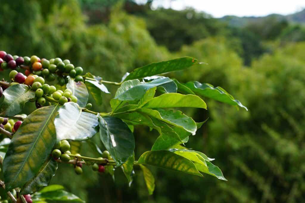 ต้นกาแฟเอธิโอเปีย